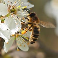 Biene auf einer Schlehenblüte